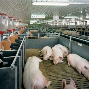 Строительство свинарников